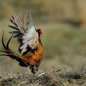 Fasan by Michael Pelz - Animals Birds
