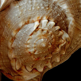 Conch 1 by Pradeep Kumar - Artistic Objects Still Life