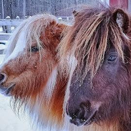 Pasture Pals by Sue Delia - Animals Horses ( two, friends, horses, minis, miniature )