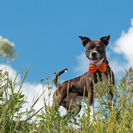 Country chic by Nathalie Deslauriers - Animals - Dogs Portraits ( jack russell, blue sky, bow tie, happy, meadow )