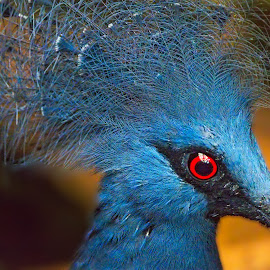 Victoria Crowned Pigeon by Gene Lybarger - Animals Birds ( crowned, bird, pigeon, blue, portrait )