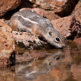 thirsty Squirrel  by Ruth Jolly - Animals Other Mammals ( antelope ground squirrel, animal drinking, wildlife, rodent, mammal, squirrel, animal,  )