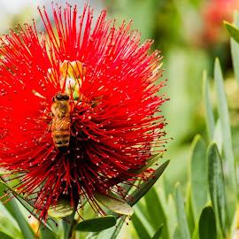 Buzzie Bee by Ken Nicol - Animals Other