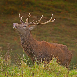 Monarch of the Glen by Bob Rawlinson - Animals Other ( deer )