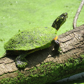Audubon Turtle by Erika  Kiley - Novices Only Wildlife ( green, summer, duck weed, algae, pond, turtle )