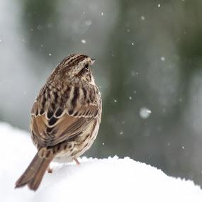 by Sandy Hogan - Animals Birds ( bird photos, finch, blizzard, snowing, bird photography )