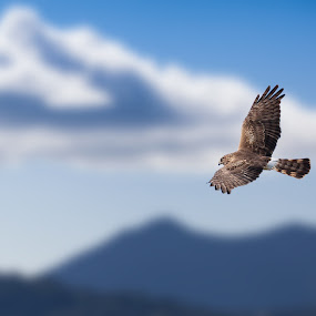 Northern Harrier by Alex Sam - Animals Birds ( las gallinas, norther harrier, harrier )