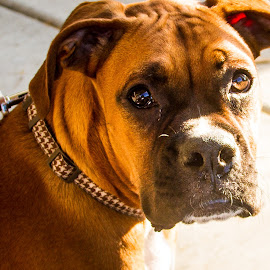 Rose - Boxer by John Guest - Animals - Dogs Portraits ( bartlesville ok, summer )