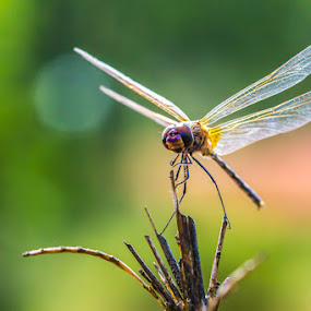 Kung fu Dragon fly by Calvin Chan - Animals Insects & Spiders