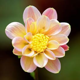 Dahlia 9294 by Raphael RaCcoon - Flowers Single Flower