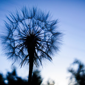 Nature's architechure by Steve Outing - Nature Up Close Other plants ( plant, abstract, dandelion, blue, silhouette, weed, symmetry )