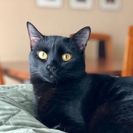 Mya Papaya! by Jay Dizzle - Animals - Cats Portraits ( cats, mya, black cat )