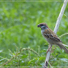 Eurasian Tree Sparrow 麻雀