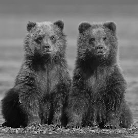 Twin Bears by Anthony Goldman - Black & White Animals ( bear, wild, alaskan brown, nature, lake clark, b & w, wildlife, cubs, beach, 8 months, mammal )