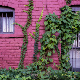 by Chuck Campbell - Buildings & Architecture Other Exteriors ( window bars, vines, painted brick, brick )