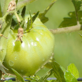 Green Tomato by Sandy Stevens Krassinger - Nature Up Close Gardens & Produce ( plant, tomato, vine, nature up close, leaves, vegetable )