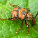 Leaf-rollig weevil