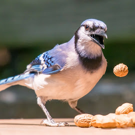 Oops! by Steve Munford - Animals Birds ( animals, nature, comical, blue jay, birds )