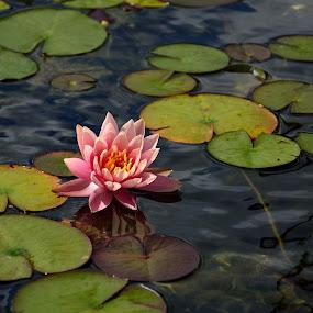 by Rany Haj - Nature Up Close Flowers - 2011-2013 ( nikon 18-140, pink lotus )
