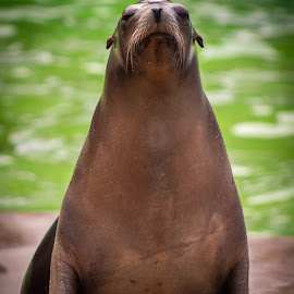 Regal by Marc Steele - Animals Sea Creatures ( californian sea lion, critters, animals, colwyn bay, mountain, zoo, wales, welsh mountain zoo, sea lion, outdoors, wildlife, cymru, coast, animal )