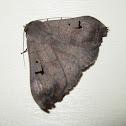 Brown Panopoda Moth