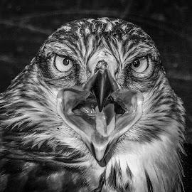 SOS Ferruginous by Garry Chisholm - Black & White Animals ( bird, nature, wildlife, prey, raptor )