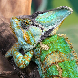 Chameleon by Ralph Harvey - Animals Reptiles ( wildlife, ralph harvey, reptile, chameleon, longleat )