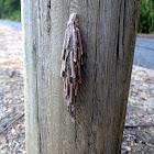 Saunder's Case Moth