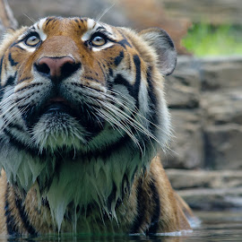 Gaze by Mark Halliday - Animals Lions, Tigers & Big Cats ( big cat, tiger, feeling, nature up close, eyes )