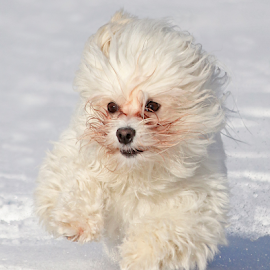 Aerial by Mia Ikonen - Animals - Dogs Running ( havanese, action, finland, cute, fast )