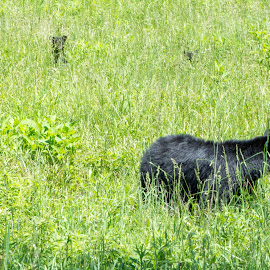 Mom and the kids by Thomas Shaw - Animals Other Mammals ( 2017, mammals, bear, wild, babies, animals, grass, tennessee, cubs, wild life photography, cades cove, cub, hairy, field, national park, mountains, wild life, bears, black bear, three, fur, four, smoky mountains )