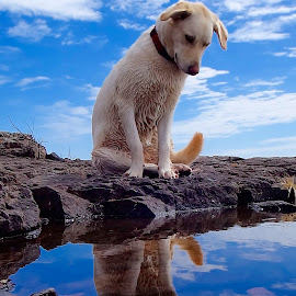 See My Reflection! by Sandra Updyke - Animals - Dogs Portraits ( lake superior shore, reflections, betsy, dog reflection, dog )