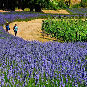 Ladies in Lavender by Campbell McCubbin - City,  Street & Park  City Parks ( farm, walking, blue, lavender, blossoms, winery,  )