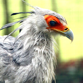 Secretary Bird by Ralph Harvey - Animals Birds ( bird, wildlife, ralph harvey, marwell zoo )