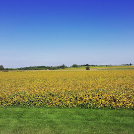 Field of Yellow by Suzette Christianson - Landscapes Prairies, Meadows & Fields