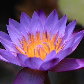 Purple Lotus by Pradono Gunawan - Nature Up Close Flowers - 2011-2013