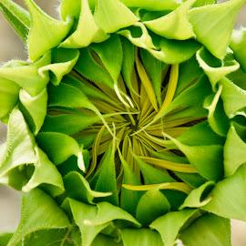 by Simona Ciglenean - Flowers Single Flower