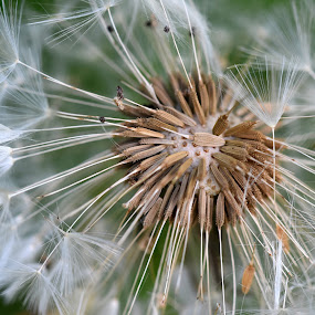 Dandelion Clock Macro  by Fiona Etkin - Nature Up Close Other plants ( macro, close up, nature, texture, fluffy, dandelion,  )