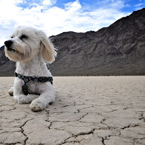 Maltese in desert by Diana Garbacauskiene - Animals - Dogs Portraits ( maltese, #GARYFONGPETS, #SHOWUSYOURPETS )
