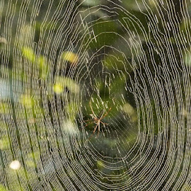 A brilliant weaver.... by Shouvanik Satpathy - Nature Up Close Webs