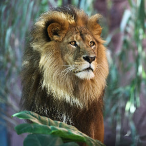 King of the Jungle by Helen Tweedie - Animals Other Mammals