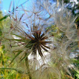 LAST BRIEF OF DANDELION by Wojtylak Maria - Nature Up Close Other plants ( plant, dandelion, meadow, summer, july )