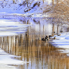 Ducks on a Winter Stream by Sandra Hilton Wagner - Landscapes Waterscapes ( water, stream, cold, ice, beautiful, snow, creek, trees, landscape, geese )