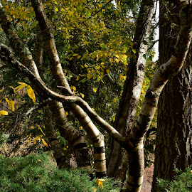 Tree trunks by Denton Thaves - Nature Up Close Trees & Bushes ( tree trunks )