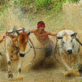 Art of Pacu Jawi by Don Borland - News & Events World Events ( doni aries, water, animals, pacu jawi, man )