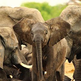 Elephants by Kurt Haas - Animals Other Mammals ( mammals, elephants, nature up close, wilderness, nature close up, wild animal, wild, nature photography, national geographic, wildlife, national parks )