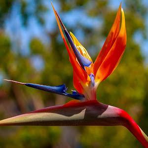 bird of paradise-1081.jpg