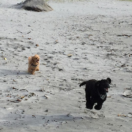 My poodles, my family by Hilde Linaker - Animals - Dogs Running ( poodle standard, poodle, poodle miniature, beach, happy dog, running, norway )