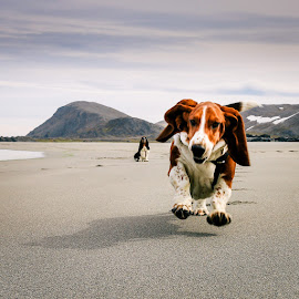 Charlie Brown by Annette Nordlinder - Animals - Dogs Running ( floppy, flying, two, mountain, sitting, white, ears, brown, basset hound, beach, running, black )