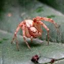 Philodromid crab spider, female